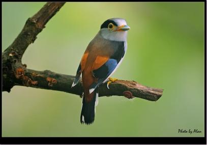 Silver Breasted Broadbill - Photo by Alan
