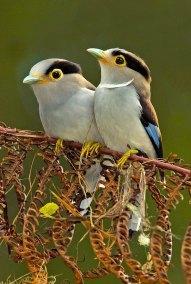 Silver-breasted Broadbills