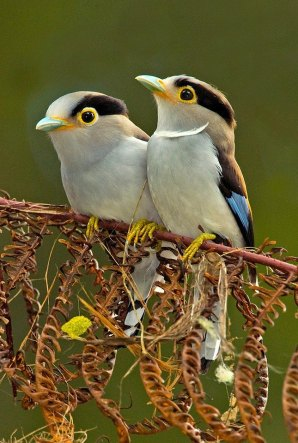 Silver-breasted Broadbills