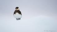 Skua in the ice. Copyright © Roy Mangersnes.