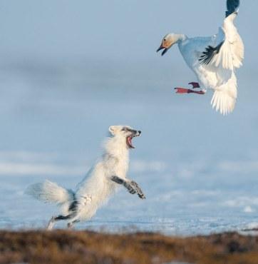 Snow Goose on Wrangle Is. by Sergey Gorshkov