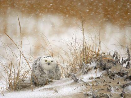 snowy-owl-storm_43247_990x742