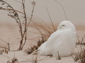 snowy-owl-wind-dunes_62983_990x742