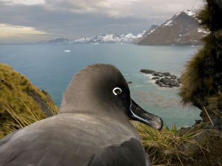 sooty-albatross_13132_990x742