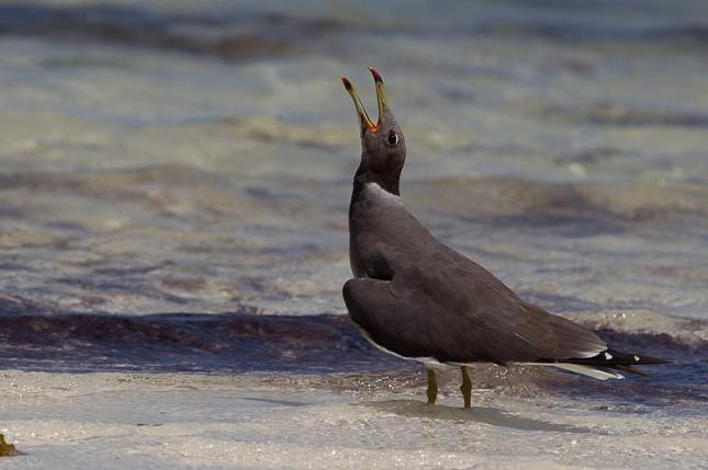 Sooty Gull - Larus hemprichii