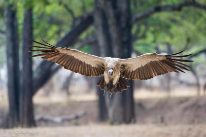 South Luangwa National Park, Zambia - Isak Pretorius Wildlife Photography
