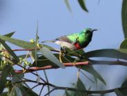 Southern-Double Collared Sunbird