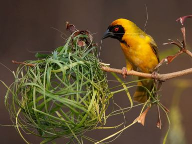 southern-masked-weaver_30710_990x742