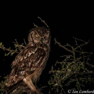 Spotted Eagle Owl at Phinda
