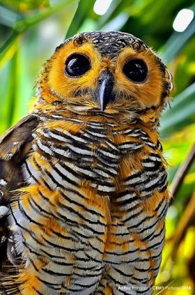 Spotted Wood Owl by Aditya Rangga