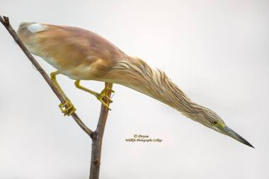 Squacco Heron by Mark Drysdale