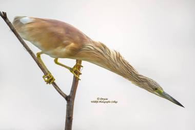Squacco Heron by Mark Drysdale