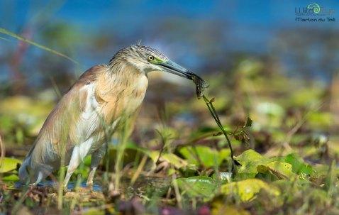 Squacow Heron