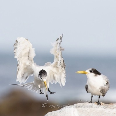Swift Tern landings. Cape Point, Table Mountain National Park, Western Cape, South Africa.