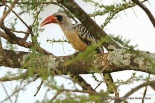Tanzania Red-billed Hornbill