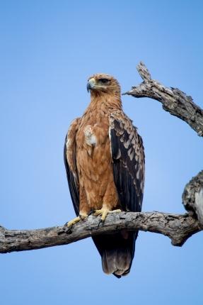 Tawny Eagle (3)