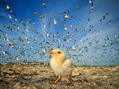 tern-chick-sri-lanka_60642_990x742