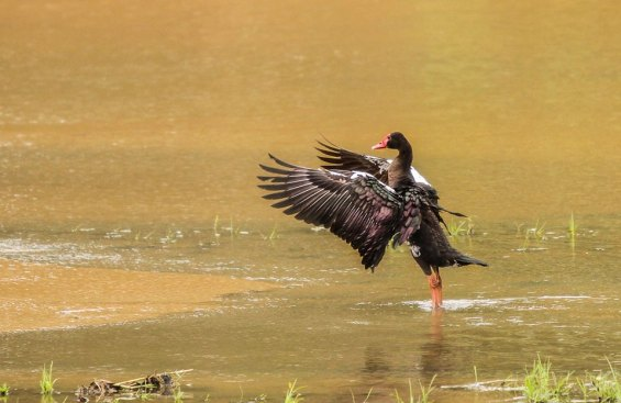 The beautiful colours of a spur-winged goose