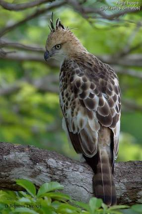 The Changeable Hawk Eagle