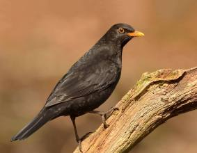 The Common Blackbird - Turdus merula - is a species of true thrush