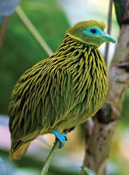 The Golden Fruit Dove is a small bird (8 inches in length) found on the Fijian islands.