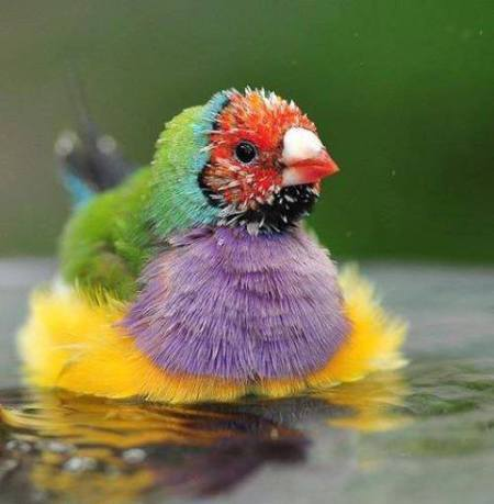 The Gouldian Finch -Erythrura gouldiae-, also known as the Lady Gouldian Finch