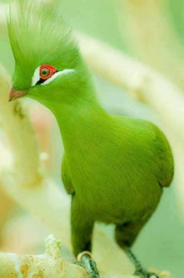The Guinea Turaco