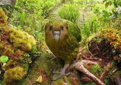 The Kakapo - A rare Bird