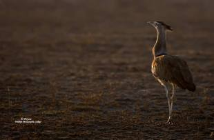 The Kori Bustard, the worlds heaviest flying bird, weighing up to 18kgs.by Dryzie