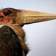 The Marabou Stork in all its glory. Photographed by James Hobson