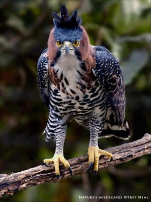 The Ornate Hawk-Eagle