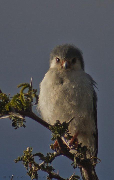 The pygmy falcon