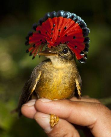 The Royal Flycatcher. Native to Central & South America