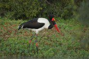 The Saddle-billed Stork. Photographed by Adam Bannister