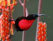 The sensational scarlet chested sunbird - Anthony Goldman