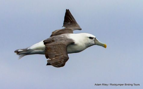 The Shy Albatross (also known as Shy Mollymawk
