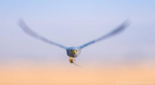 The small, compact Grey Kestrel fly's towards a frequented perch with a small mouse in it's talons.
