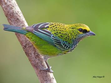 The Speckled Tanager - Tangara guttata