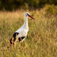 The White Stork. Photographed by Talley Smith.