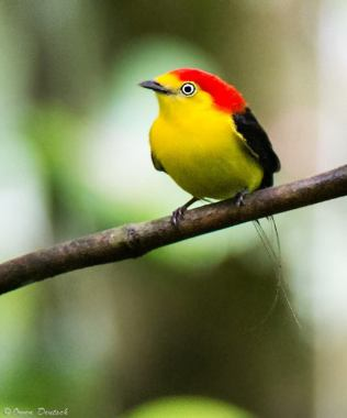 The Wire-tailed Manakin in Ecuador