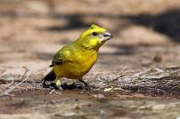 The Yellow Canary - Serinus flaviventris