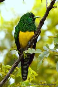 This beautiful bird is the male African Emerald Cuckoo