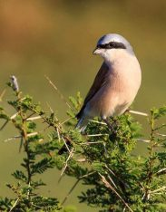 This is a Red-backed Shrike photographed by Nobby Clarke.
