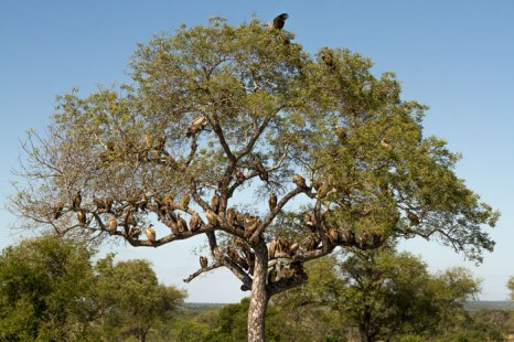 Tree full of vultures