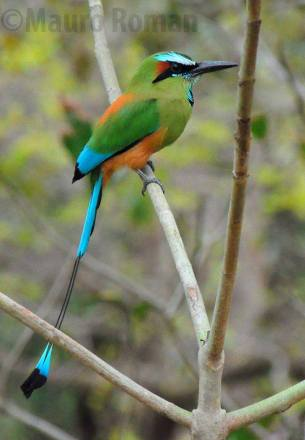 Turquoise- browed Motmot