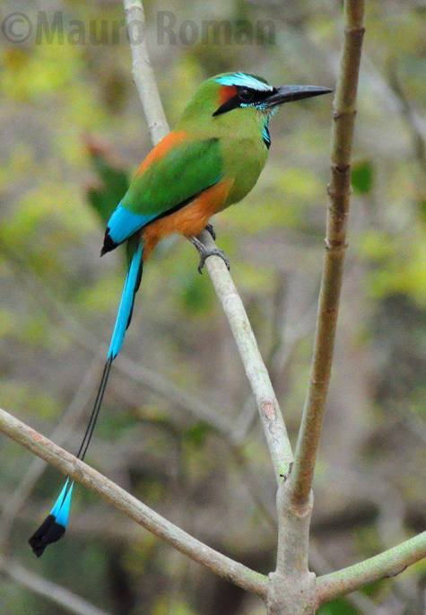 Turquoise- browed Motmot