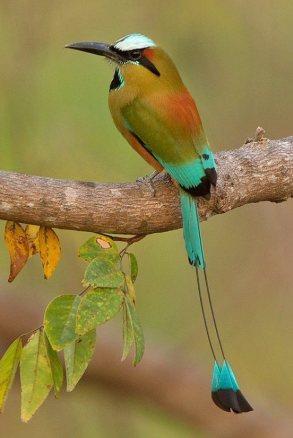 Turquoise-browed Motmot