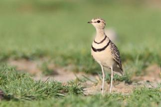 Two-banded Courser - Rhinoptilus africanus © by Artur Bujanowicz