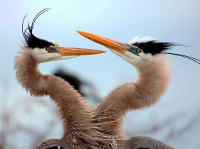 two-blue-herons_17799_990x742