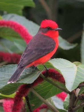 Vermilion Flycatcher (male) by felixú